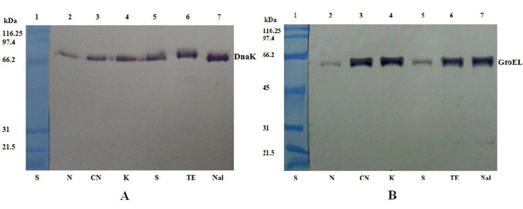 Western blot analysis of DnaK (A) and GroEL (B) expression in S. Abortusovis cells after exposure to various antibiotics