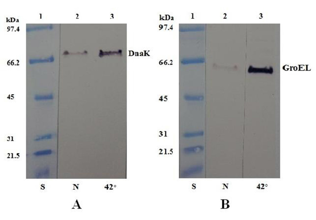 Western blot analysis of DnaK (A) and GroEL (B) expression in S. Abortusovis cells after heat shock